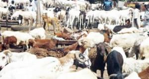Rams for Eid-il-Adhar