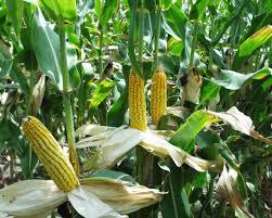 Maize plantation
