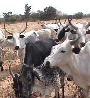 Herds of Cattle