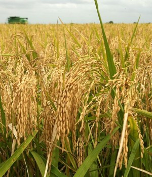 Rice farm land