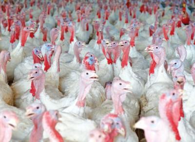 Animal husbandry - turkey