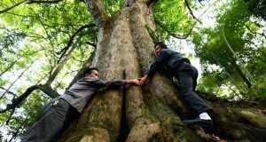 Taxus chinensis tree