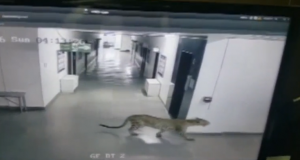 CCTV fotage of the Leopard