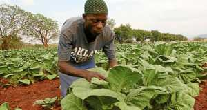 Zimbabwean tobacco farmer