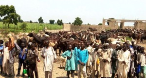 Herds-of-cattle and rescued herdsmen