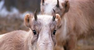 Mongolian antelope