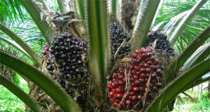 Oil-Palm-Cultivation