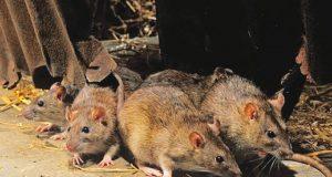Rats, carriers of Lassa fever