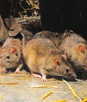 Rats, carriers of Lassa fever