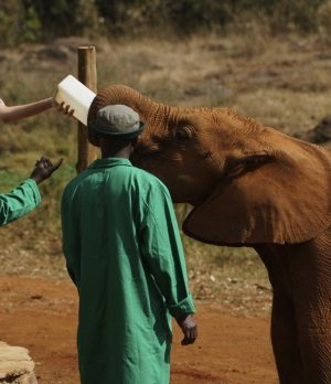 Melania Trump feeds young elephant in Kenya