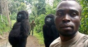 Gorillas in selfie style pose with their rangers