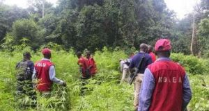 NDLEA arrests indian hemp farmers