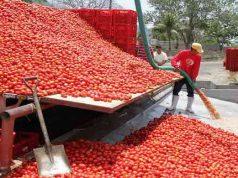 Dangote's tomato processing plant in Kano