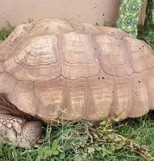 Oldest Tortoise, 'Alagba' dies in Ogbomoso