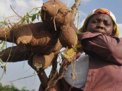 Female cassava farmer